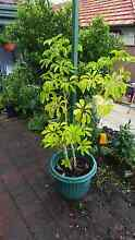 Umbrella tree for sale Pagewood Botany Bay Area Preview