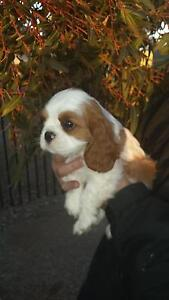 Pedigree Cavalier King Charles Spaniels Adelaide CBD Adelaide City Preview