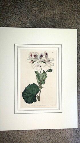 1820,SWEET ROBERT Hand Painted Engraving GERANIA