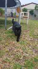 URGENT REHOME (cat, 4 y/o male) Waikiki Rockingham Area Preview