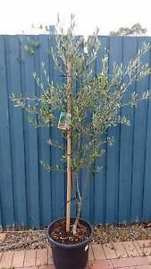 Large Olive tree Seventeen Mile Rocks Brisbane South West Preview
