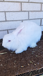 Angora rabbit St Leonards Willoughby Area Preview