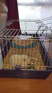 Male Guinea pig, cage and supplies  $100 Koondoola Wanneroo Area Preview