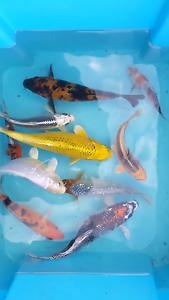 Japanese koi Thirlmere Wollondilly Area Preview