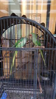 Breedimg pair of alexandrine parrots