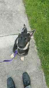 Lost female 5 month old GSD. Melbourne CBD Melbourne City Preview