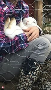 Two female rabbits for sale .