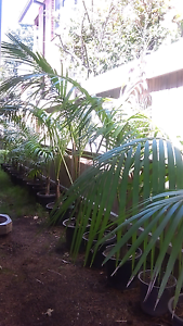 Kentia palms in 12inch pots Burwood Burwood Area Preview