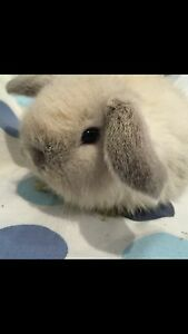 PURE baby mini lops with CASHMERE & PURE tiny baby Netherlands. :)) Burnside Melton Area Preview