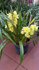 cymbidium orchid, very big plant in 35 cm pot. Plant Hallam Casey Area Preview