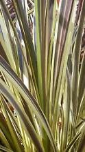Cordyline Electric Flash grower direct perth shrub tree Darch Wanneroo Area Preview