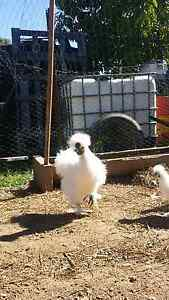 Purebred silkie rooster Macksville Nambucca Area Preview
