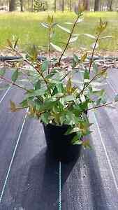 Abelia grandiflora Oakville Hawkesbury Area Preview