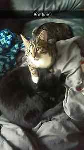 Tabby Kitten (Male) - Free to a Good Home  London Ontario image 5