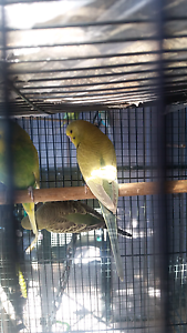 Crest bred budgie Sunbury Hume Area Preview