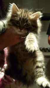 Persian Kittens Caboolture South Caboolture Area Preview