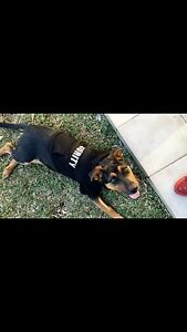 Rottweiler puppy Casula Liverpool Area Preview