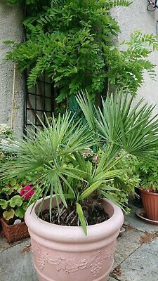 Large Palm Tree in pot.