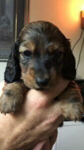 Miniature Dachshund Puppies | Kijiji in Ontario  - Buy, Sell & Save