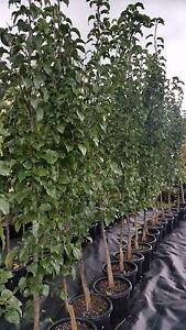 CAPITAL ORNAMENTAL PEAR TREES 2.6MTS (8.5FT) FROM TOP OF POT Skye Frankston Area Preview