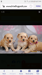 Wanted apricot toy poodles Morley Bayswater Area Preview