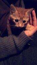 Kitten Erskine Park Penrith Area Preview
