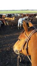 Feedlot horse work Dalby Dalby Area Preview
