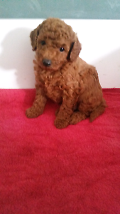 Red toy poodle Taylors Lakes Brimbank Area Preview