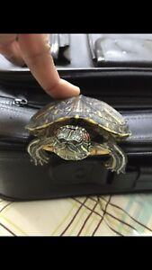 3 Red nose turtle $150