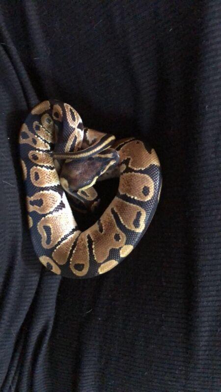 live ball python snake W a Tank