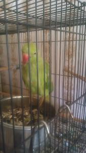 Ringneck bird for sale. Make an offer Hurstville Hurstville Area Preview