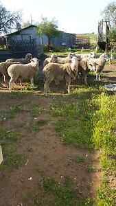 Merino Lambs  $130 Each and merino Ewes $100 each  for sale Dublin Mallala Area Preview