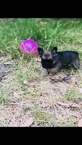 French bulldog puppies Ankc registered