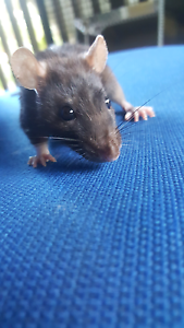 1male 1female pet rats birth day unkown Millner Darwin City Preview