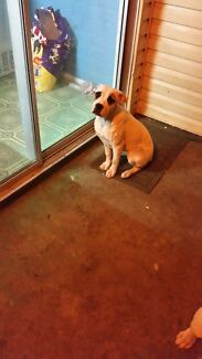 American bulldog, female 5 months old Curra Gympie Area Preview