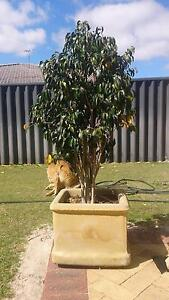Ficus in sandstone planters (2) - 148cm Total height Morley Bayswater Area Preview