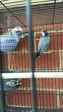breeding pair of Java finch Noble Park Greater Dandenong Preview
