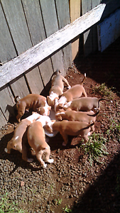 Puppies for sale Burnie Burnie Area Preview