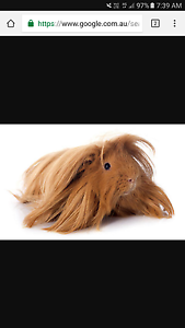 Long haired guinea pig Ryde Ryde Area Preview
