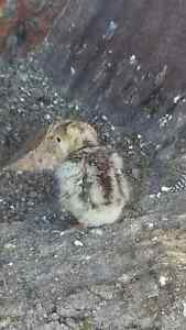 Baby turkey's Waroona Waroona Area Preview