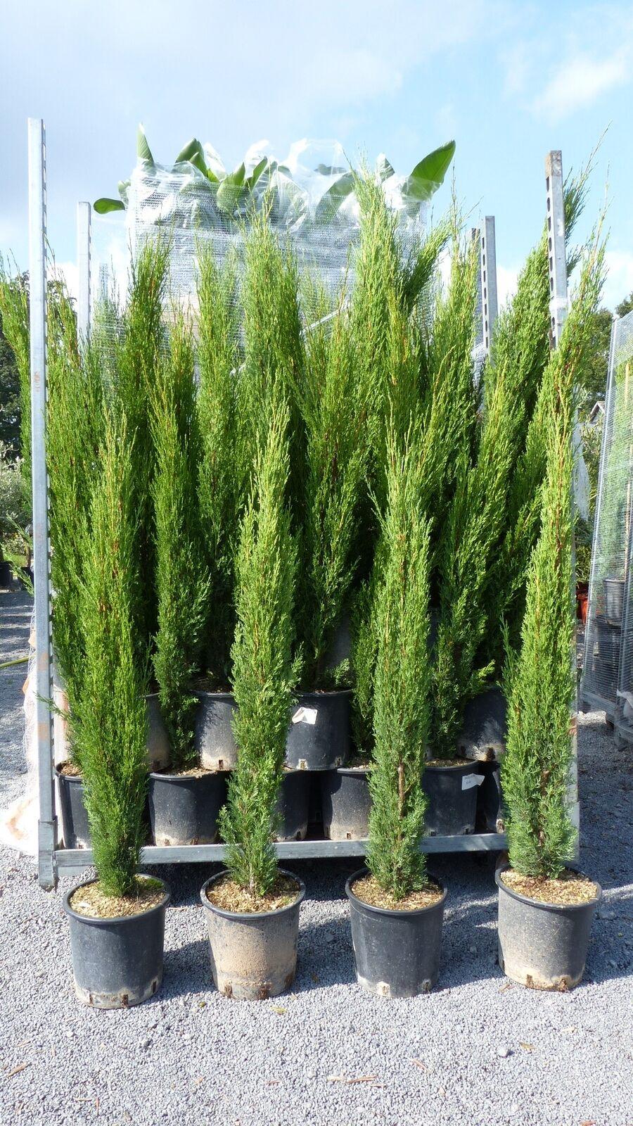 5 x Mittelmeerzypresse Cupressus Sempervirens Totem 70 - 90 cm Toskana Zypresse