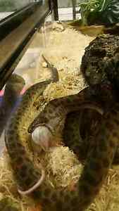 Children's pythons , breeding pair Wynnum Brisbane South East Preview