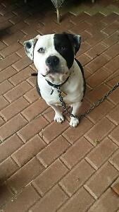 Free American Staffordshire Terrier Gledhow Albany Area Preview