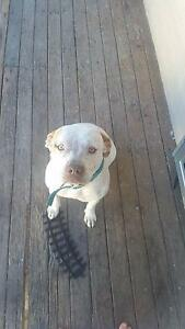 Staffy cross Deception Bay Caboolture Area Preview