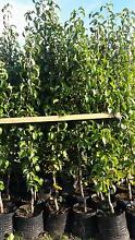 CAPITAL ORNAMENTAL PEAR TREES $58 TO $79 Skye Frankston Area Preview