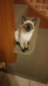 Ragdoll Kitten 4 1/2 Months South Windsor Hawkesbury Area Preview