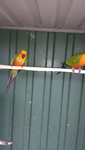 Jenday conure Redwood Park Tea Tree Gully Area Preview