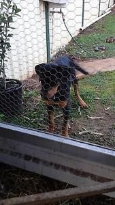 Rotty for sale York York Area Preview