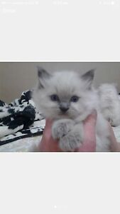 Looking for ragdoll kitten. Revesby Bankstown Area Preview