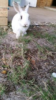 Is this your bunny rabbit? Inglewood Stirling Area Preview